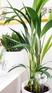 Yucca Wohnzimmer 10 Besten Ungiftige Pflanzen Bilder Auf Pinterest Katzen