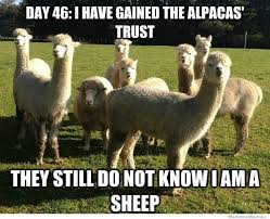 Alpaca Sheep Meme - day 46 i have gained the alpacas trust weknowmemes