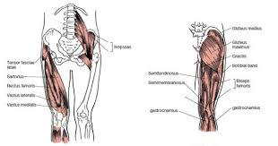 Anatomy Of Body Muscles Muscles That Move The Leg
