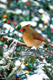 northern cardinal spruce with lights stock photo getty