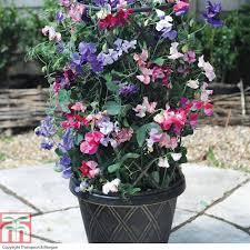sweet pea plants thompson u0026 morgan
