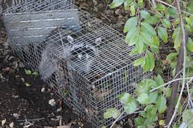 here u0027s a quick way to catch a raccoon stacey gustafson writer
