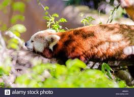 a beautiful panda lying on a tree branch stretched