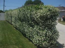 native screening plants fast growing plants to cover a chain link fence the smarter gardener