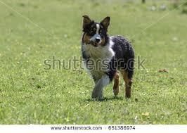 running with australian shepherd puppy male boxer dog sitting on stock photo 550676602 shutterstock