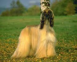 afghan hound afghan hound wallpapers android apps on google play