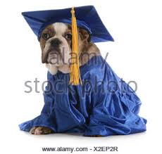 dog graduation cap and gown puppy school bulldog wearing graduation hat and gown