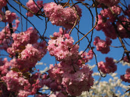 Japanese Cherry Blossom Tree by Free Images Tree Branch Fruit Flower Bloom Food Spring