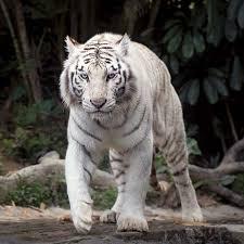 white tiger students britannica homework help