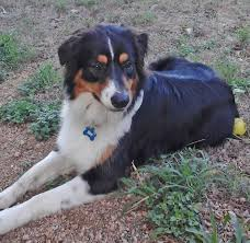 south dakota australian shepherd rescue happy tails south texas aussie rescue