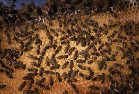Seeking Honey How Do Bees Make Honey It S Not Just Bee Barf
