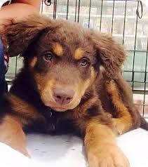 australian shepherd tan basil adopted puppy west richland wa australian shepherd