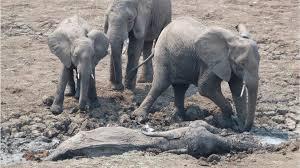 Fotos mostram resgate dramático de elefanta e filhote presos na lama
