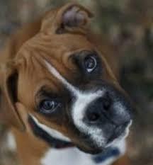 boxer dog howling training a boxer to stop begging boxer dog behavior