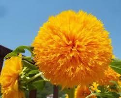 20x sunflower seeds semi helianthus ornamental