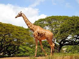 giraffes threatened inhabitat u2013 green design innovation