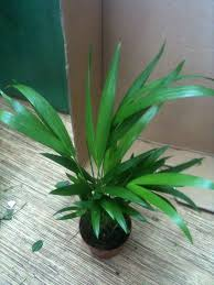 House Plants Diseases - areca palm plant care planting growing cutting pruning