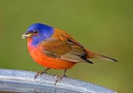 How To Attract Indigo Buntings To Your Backyard Ten Birds To Attract With Water Bird Watcher U0027s Digest