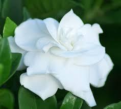 gardenia flower gardenias of florida institute of food and