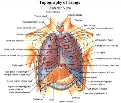 internal parts of a right chest human body archives page 54 of