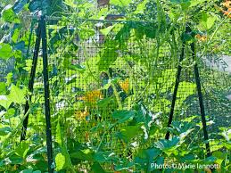 a better way to trellis tomatoes