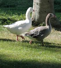 Backyard Chickens 101 by Raising Geese 101 Backyard Chickens