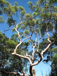 best 25 eucalyptus tree ideas on eucalyptus deglupta