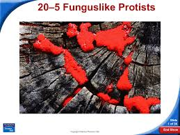 5 funguslike protists 20 slide 1 of 34