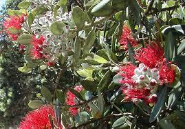 kiwi christmas christmas zealand nzhistory zealand