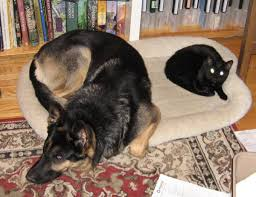 brief use of shock collar for cat chasing german shepherd dog