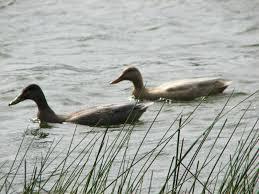 birdinggirl mallard hybrid possible domestic duck