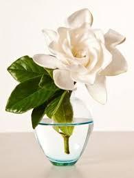 Gardenia Flower Best 25 Gardenias Ideas On Pinterest Gardenia Bush Flowering
