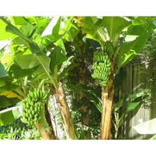 banana plant kela plant manufacturers suppliers