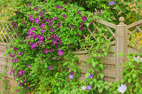 up and out vining perennials for your colorado garden tagawa