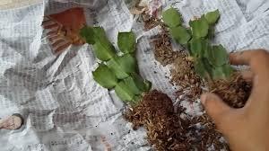 how to pot thanksgiving cactus schlumbergera truncata