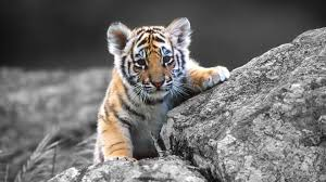 tiger hd wallpapers tiger pictures free download 1080p u2013 hd