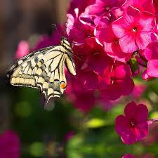 Phlox Flower Phlox Plants Spring Phlox Flowers U2013 Easy To Grow Bulbs U2013 Easy To