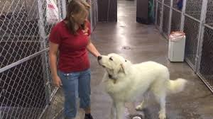 great pyrenees rescue provides wonderful dogs to good homes harvey great pyrenees from louisiana make it to springfield