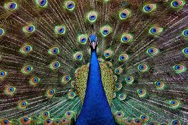 peacocks in hawaii hawaii aloha travel