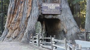 Chandelier Tree California Get Free Stock Photo Of Drive Through Tree