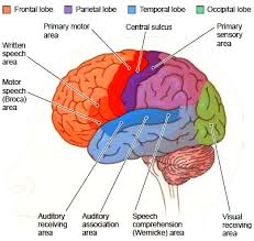 Anterior Association Area The Cerebral Hemispheres Functions Of The Cerebral Hemispheres