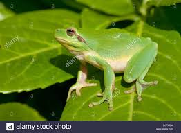 mediterranean tree frog stripeless tree frog hyla meridionalis
