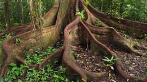 amazon rainforest native plants buttress roots amazon design thesis prep pinterest ficus