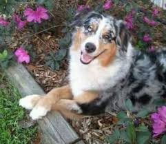 australian shepherd breeders near me australian shepherd dog breeder in ocala florida usa