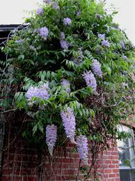 wisterias plant care and collection of varieties garden org