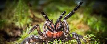 venomous tree dwelling spiders scientists nbc news