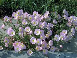 Pink Primrose Flower - mexican primroses these pale pink beauties are blooming now