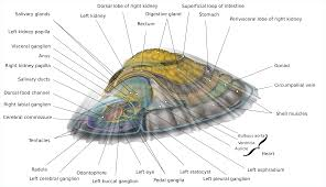Anatomy Of A Cats Eye Limpet Wikipedia