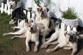 2 types of boxer dogs protection dogs for families the five best guard dogs to own