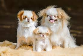 Dogs For The Blind Jobs Japanese Chin Dog Breed Information Pictures Characteristics